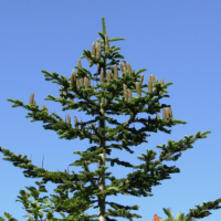 abies_concolor1md (Abies concolor)