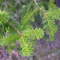 abies_numidica2md (Abies numidica)