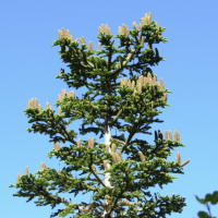 abies_concolor2md (Abies concolor)