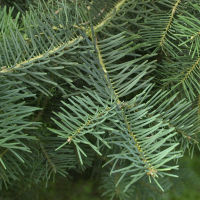 abies_concolor3md (Abies concolor)