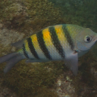 Abudefduf saxatilis (Sergent major)