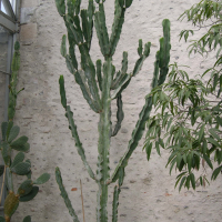 euphorbia_abyssinica1md