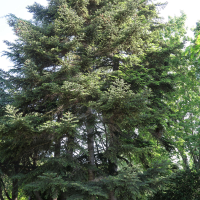 abies_cephalonica1md (Abies cephalonica)