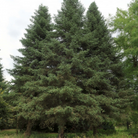 abies_pinsapo1md (Abies pinsapo)