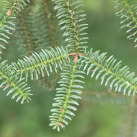 abies_pinsapo2md (Abies pinsapo)