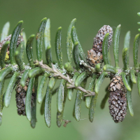 abies_pinsapo3md (Abies pinsapo)